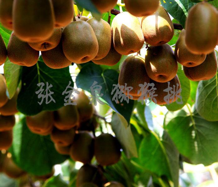 山东金泉猕猴桃