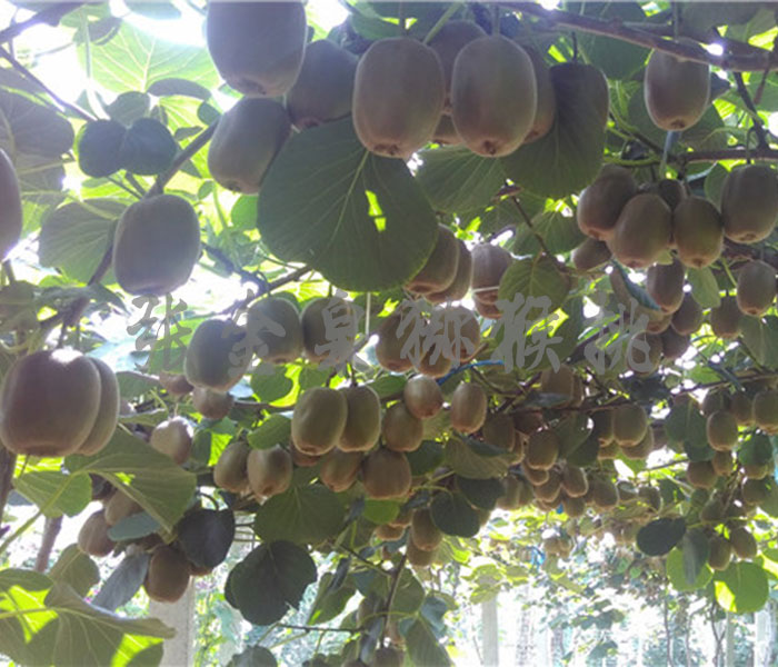 博山绿心猕猴桃