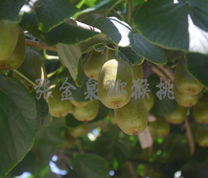 博山金泉猕猴桃