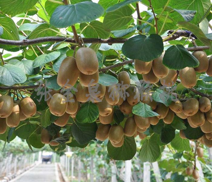 碧玉猕猴桃